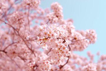 春到来!バンクーバーのお花見・桜のイベント情報